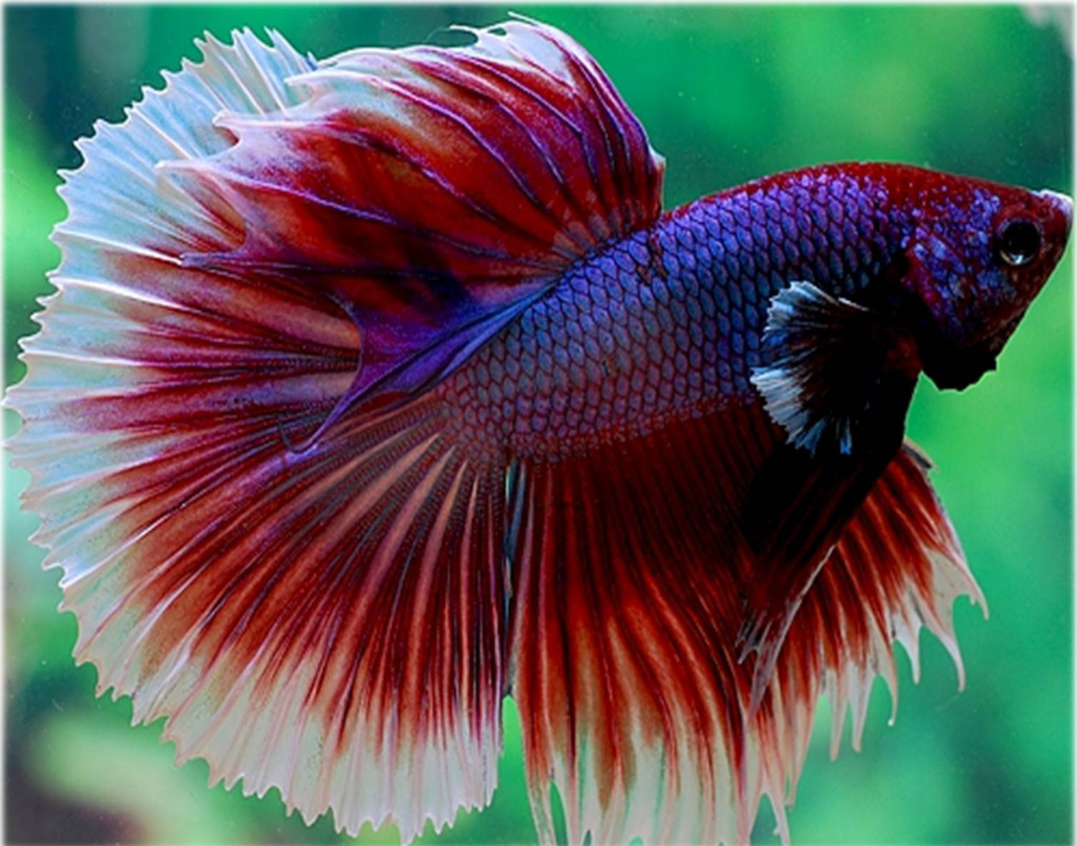 How to choose a healthy betta fish petshoptop for Healthy betta fish