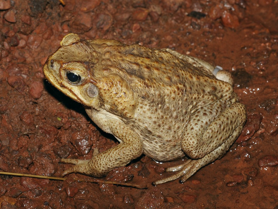 cane toads in australia Cane toad strategy cane toad strategy for western australia 2014–19 93567 kb this revised strategy is an action oriented, 'living' document that will be updated as new information comes to hand.