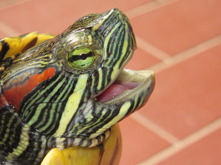 Tips for transporting your red eared slider