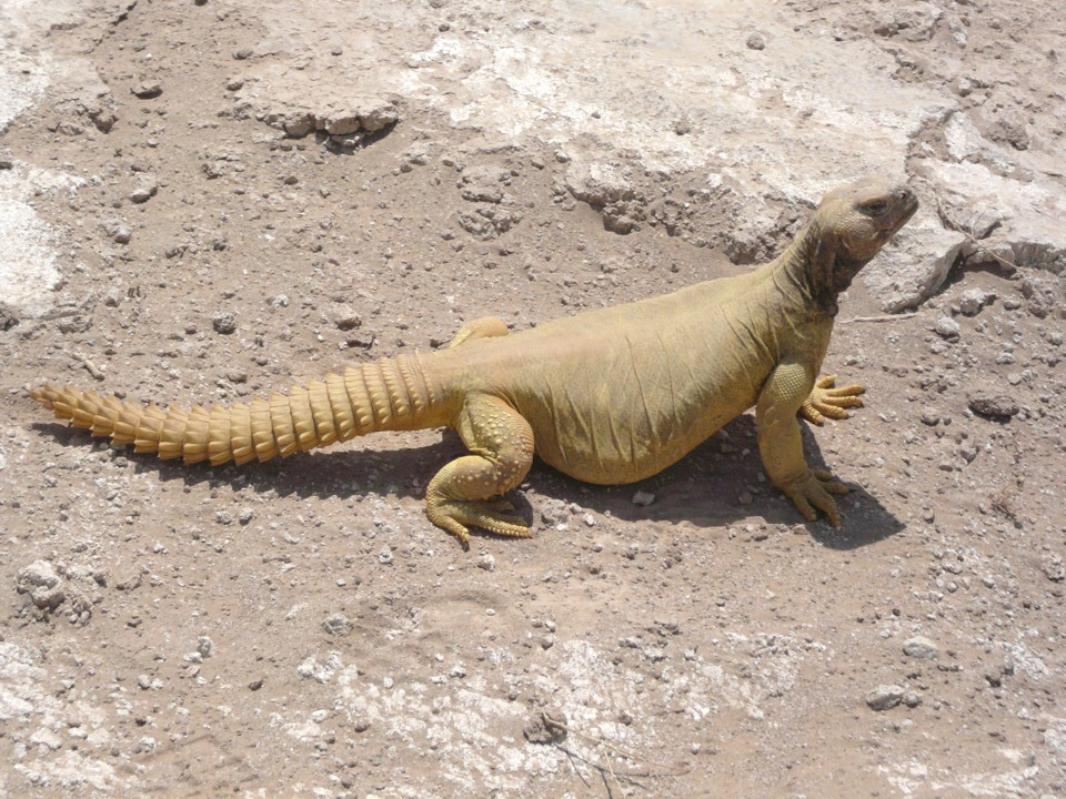 sexy-what-age-are-uromastyx-sexualy-mature