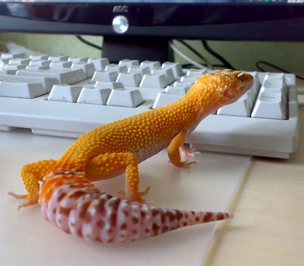 If your gecko dropped its tail...